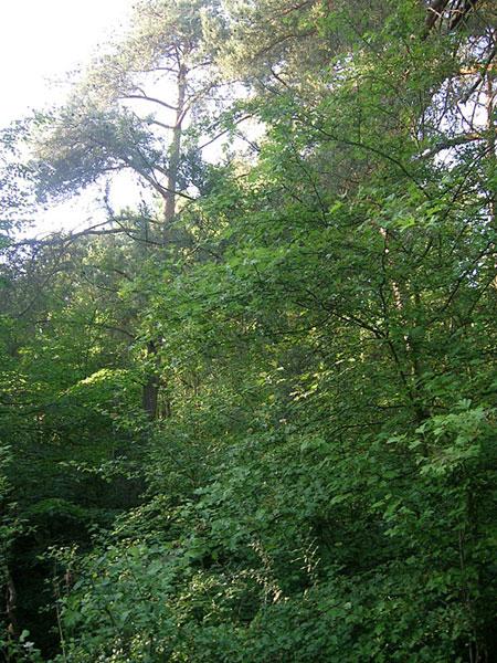 Wald auf dem Sodabuckel